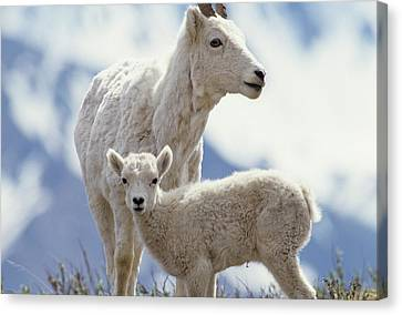 Usa, Alaska, Dall Sheep, Ewe, Ewe Canvas Print
