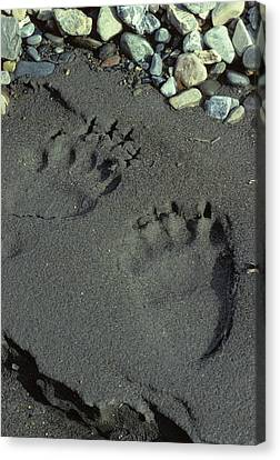 Usa, Alaska, Grizzly Bear Tracks Canvas Print by Gerry Reynolds