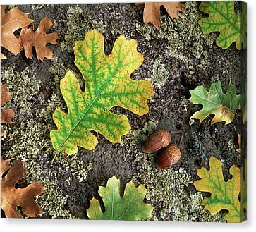 Forest Floor Canvas Print - Usa, California, Cleveland National by Christopher Talbot Frank