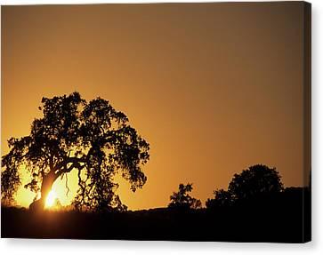 Usa, California, Oak Tree, Sunset Canvas Print by Gerry Reynolds