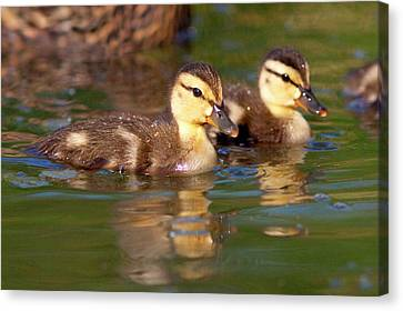 Ducklings Canvas Print - Usa, California, San Diego, Lakeside by Jaynes Gallery