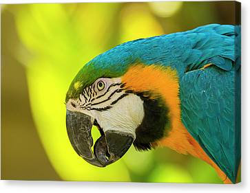 Blue And Gold Macaw Canvas Print - Usa, California, Santa Barbara by Jaynes Gallery