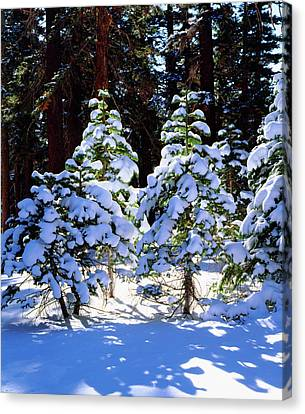 Usa, California, Snow-covered Red Fir Canvas Print by Jaynes Gallery