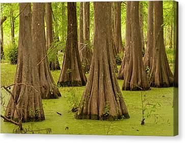 Usa, Louisiana, Lake Martin Canvas Print by Jaynes Gallery