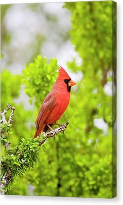 Cardinalis Canvas Print - Usa, Texas, Mission, Dos Venadas Ranch by Jaynes Gallery