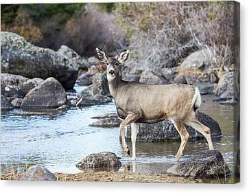 Mule Deer Canvas Print - Usa, Wyoming, Sublette County, Mule by Elizabeth Boehm