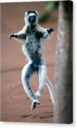 Verreauxs Sifaka Propithecus Verreauxi Canvas Print by Panoramic Images