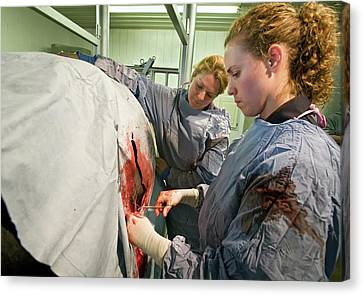 Veterinarians Operating On A Cow Canvas Print