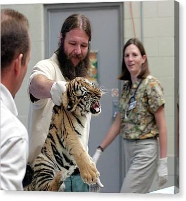 Vets Examining An Amur Tiger Cub Canvas Print by Jim West