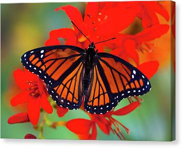 Viceroy Butterfly A Mimic Canvas Print