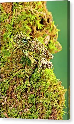 Anuran Canvas Print - Vietnamese Mossy Frog, Theloderma by David Northcott
