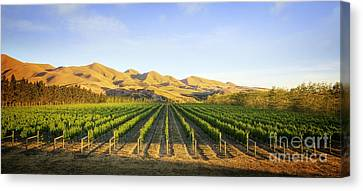 Vineyard In Canterbury New Zealand Canvas Print
