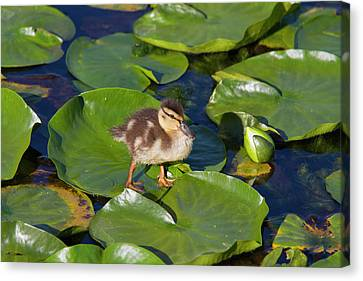 Ducklings Canvas Print - Wa, Juanita Bay Wetland, Mallard Duck by Jamie and Judy Wild