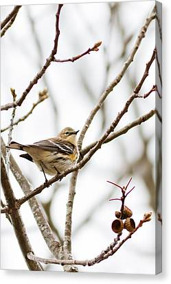 Canvas Print featuring the photograph Warbler Calls by Annette Hugen