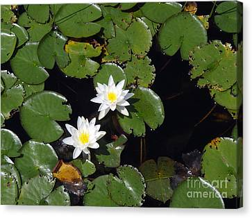 Canvas Print featuring the photograph 2 Water Lily by Robert Nickologianis