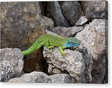 Western Green Lizard Canvas Print by Bob Gibbons
