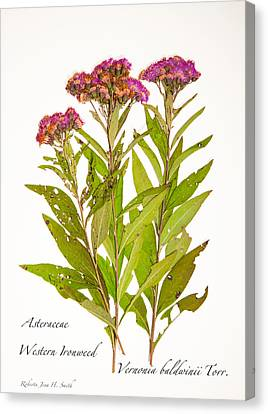 Western Ironweed Canvas Print