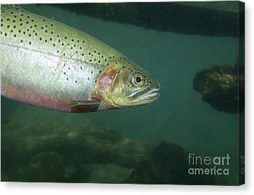 Westslope Cutthroat Trout Canvas Print by William H. Mullins