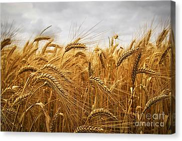 Crop Canvas Print - Wheat by Elena Elisseeva