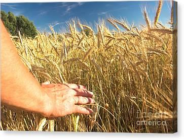 Wheat Field Canvas Print by Michal Bednarek