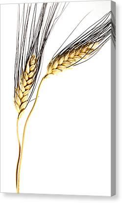 Nourishment Canvas Print - Wheat On White by Carol Leigh
