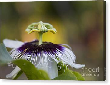 Passiflora Canvas Print - Whispers Of The Heart by Sharon Mau
