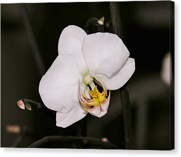 Canvas Print featuring the photograph White Orchid by Sherman Perry