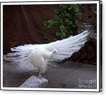 Canvas Print featuring the photograph White Peacock by Mariarosa Rockefeller