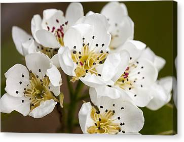 Beautiful White Spring Blossom Canvas Print