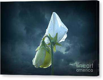 Canvas Print featuring the photograph White Sweet Pea  by Marjorie Imbeau