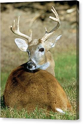 White-tailed Deer Odocoileus Virginianus Canvas Print by Millard H. Sharp