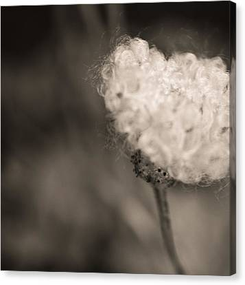 White Whisper Canvas Print by Sara Frank