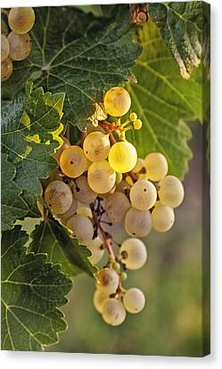 White Wine Grapes Canvas Print by Teri Virbickis