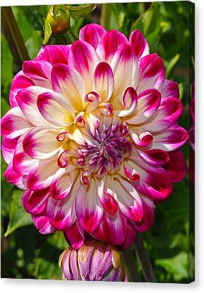 Who Dun It Dahlia Flower Canvas Print by Thomas J Rhodes
