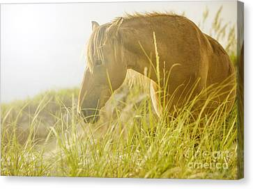 Wild Horse On The Outer Banks Canvas Print by Diane Diederich