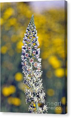 Wild Mignonette Flower Canvas Print by George Atsametakis