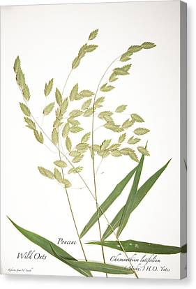 Wild Oats Canvas Print