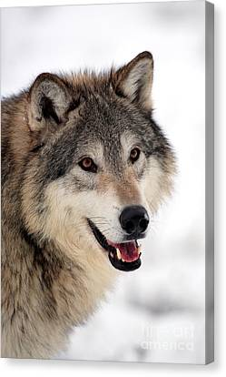 Wolf In Winter Canvas Print by Sohns/Okapia