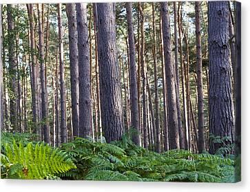 Woods Canvas Print by David Isaacson