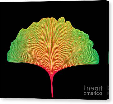 X-ray Of Ginkgo Leaf Canvas Print by Bert Myers