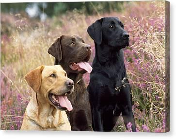 Yellow, Chocolate And Black Labradors Canvas Print