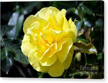 Yellow Rose Canvas Print by Mandy Judson
