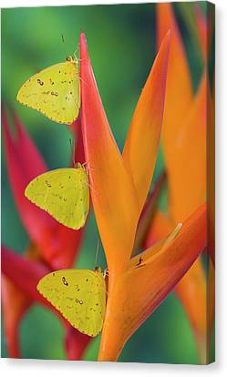 Yellow Sulfur Butterfly Canvas Print
