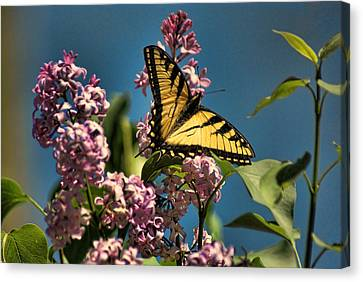 Yellow Swallowtail Canvas Print by Rick Friedle