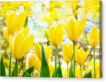 Yellow Tulips Canvas Print by Mythja  Photography