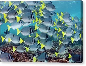 Yellowtail Surgeonfish (prionurus Canvas Print