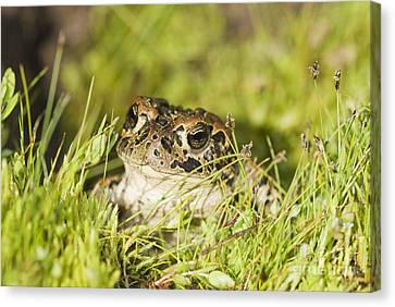 Yosemite Toad Canvas Print