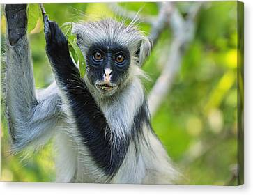 Zanzibar Red Colobus In Tree Jozani Canvas Print by Thomas Marent
