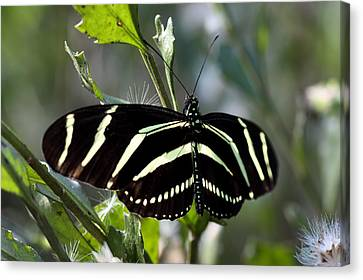 Zebra Longwing Butterfly-4 Canvas Print by Rudy Umans