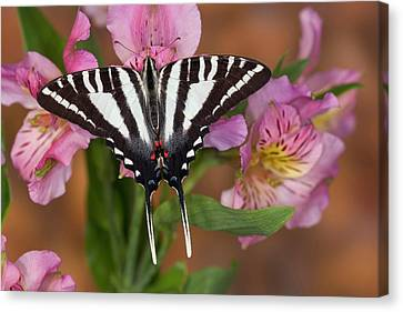 Zebra Swallowtail Butterfly, Eurytides Canvas Print